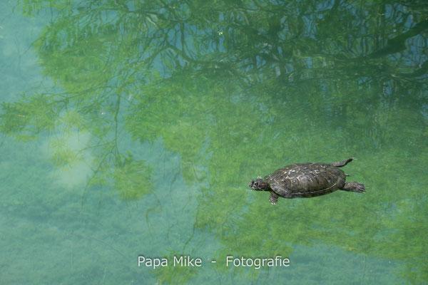 Wasserschildkröten im Kournas-See