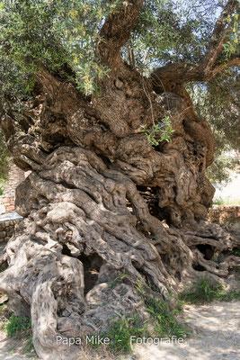 Ano Vouves - Olivenbaum
