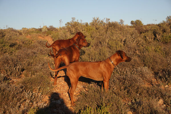 Liondogs / Rhodesian Ridgebacks