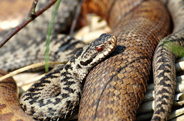 Vipera berus couple Nordrhein-Westfalen Germany