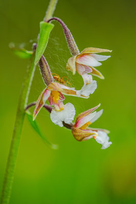 Epipactis palustris Bayern