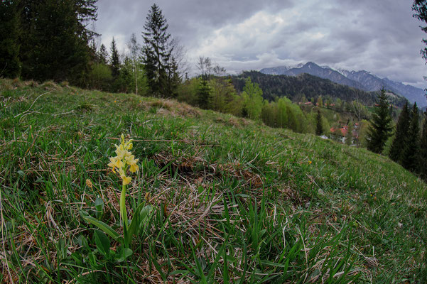 Orchis pallens Bayern