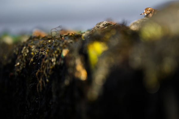 Arenaria interpres Nationalpark Wattenmeer Niedersachsen