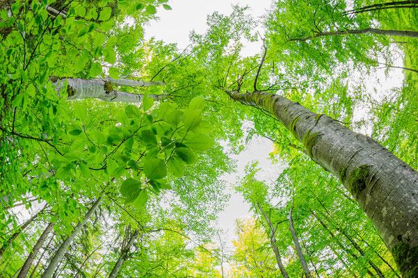 bech forest Bayern