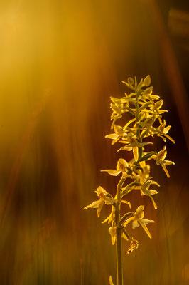 Plantanthera bifolia