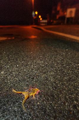 Street killed Rana temporaria