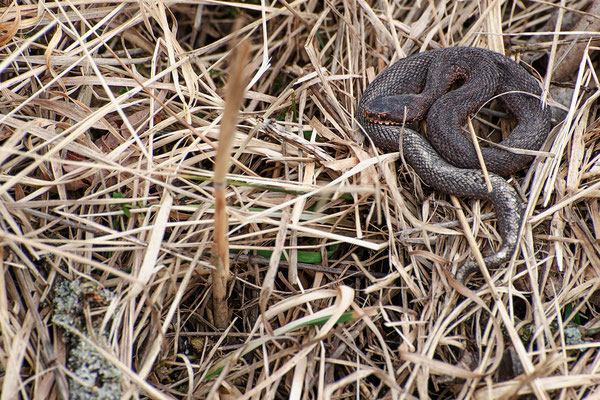 Vipera berus my earliest observation ever (07.02.2021)