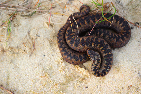 Vipera berus male Nordrhein-Westfalen Germany