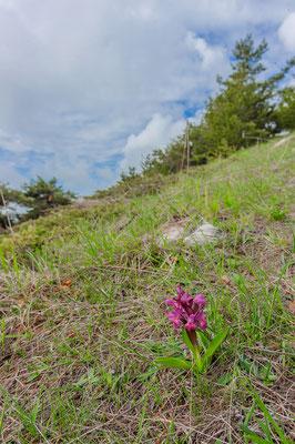 Dactylorhiza sambucina Alpes-Maritimes France