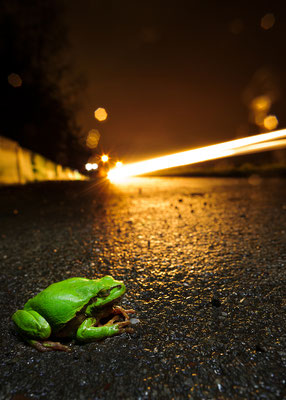 Hyla arborea crossing the road unsafe