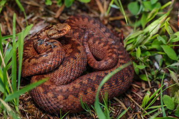 Vipera berus female Nordrhein-Westfalen Germany