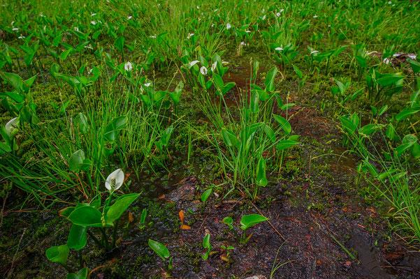 Calla palustris Bayern