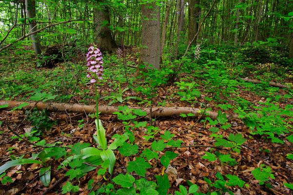 Orchis purpurea Nordrhein-Westfalen