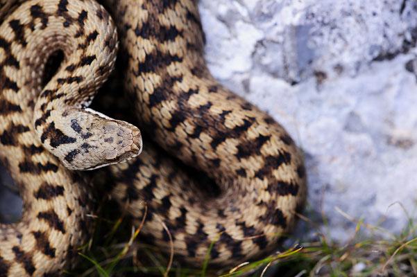 Vipera berus berus Slovenia (Italian Clade)