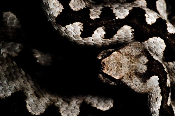 Vipera ammodytes ammodytes Slovenia