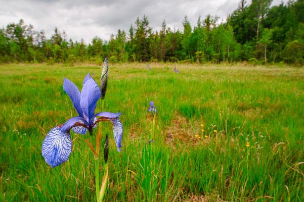 Iris sibirica Bayern