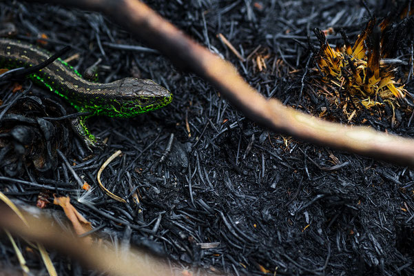 Lacerta agilis after fire de Meinweg Nationalpark / zandhagedis na brand de Meinweg Nationalpark / Zauneidechse nach dem Waldbrand im Nationalpark de Meinweg