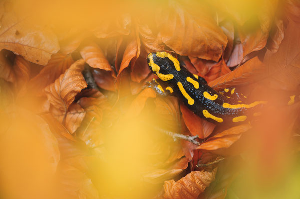 Salamandra salamandra terrestris Nordrhein-Westfalen