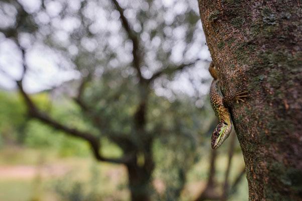 Podarcis siculus Croatia