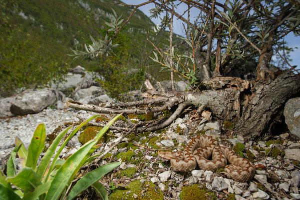 Vipera ammodytes ammodytes Julian Alps Slovenia