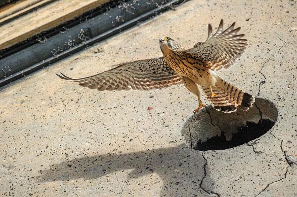 Falco tinnunculus Nordrhein-Westfalen