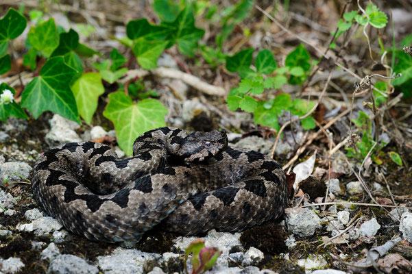 Vipera ammodytes ammodytes Kroatien