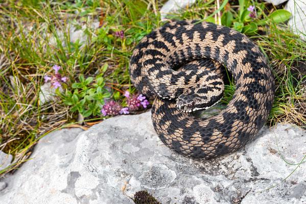 Vipera berus male Slovenia