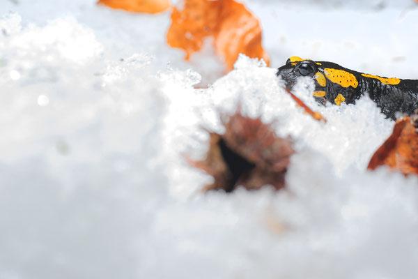 Salamandra salamandra in Snow Mangfall area