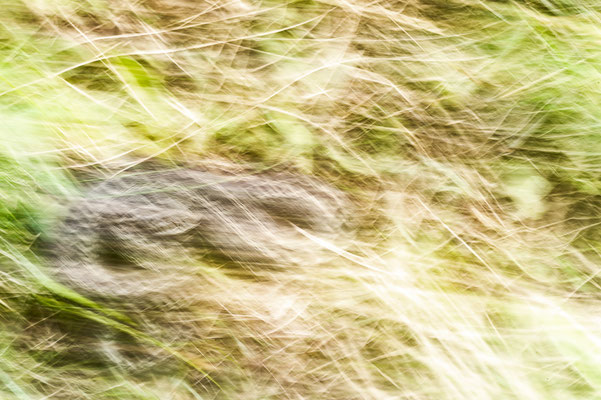 Vipera ursinii moldavica Romania