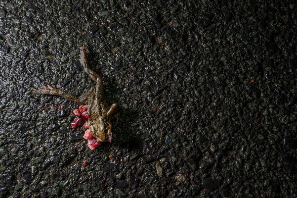 Street killed Bufo bufo