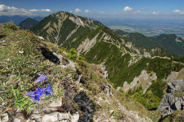 Gentiana spec. Bayrische Alpen