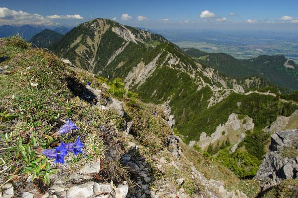 Gentiana clusii Bayrische Alpen