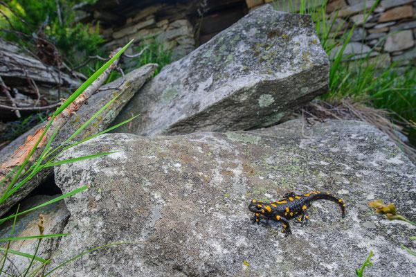 Salamandra salamandra salamandra