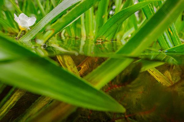 Stratiotes aloides Nordrhein-Westfalen
