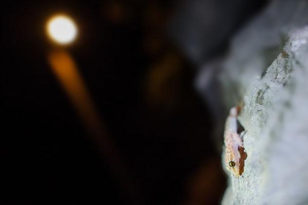 Hemidactylus tucricus