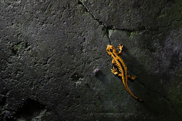Salamandra salamandra terrestris Niedersachsen