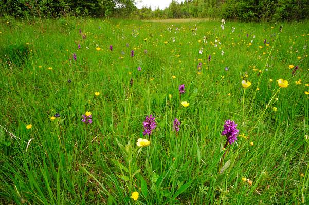 Dactylorhiza meadow Bayern