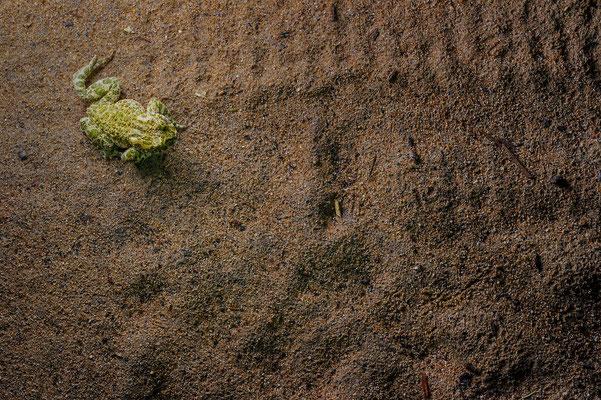 Bufotes viridis Rheinland-Pfalz