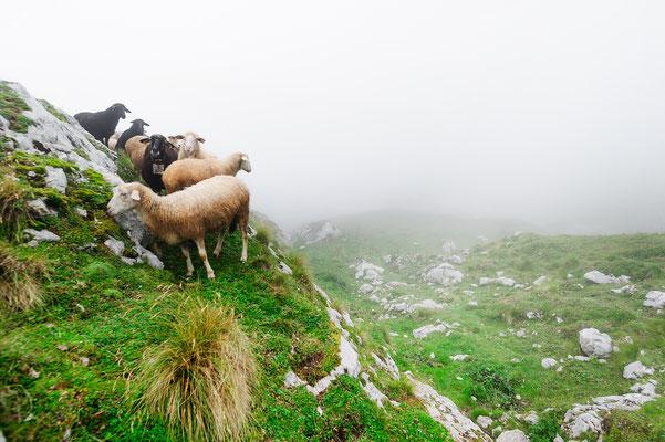 Sheeps Julian Alps Slovenia