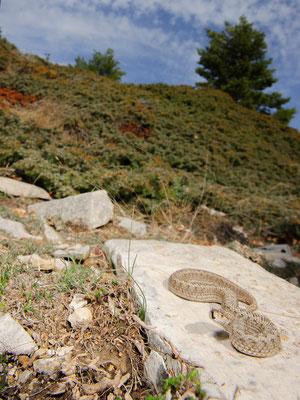 Vipera ursinii ursinii Alpes-Maritimes France