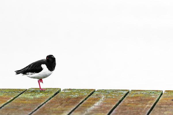Haematopus ostralegus Nationalpark Wattenmeer Niedersachsen