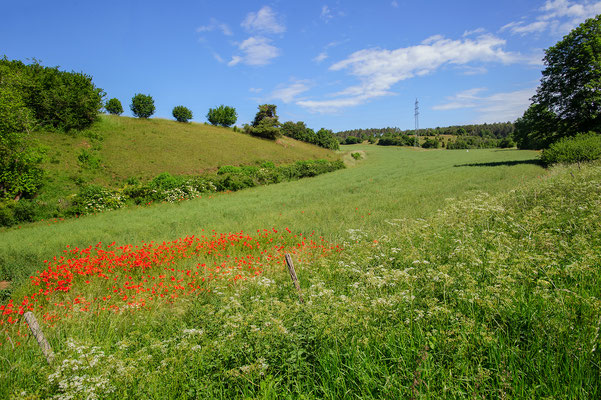 Kornfeld in der Kalkeifel