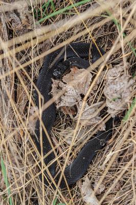 Vipera berus male Baden-Württemberg