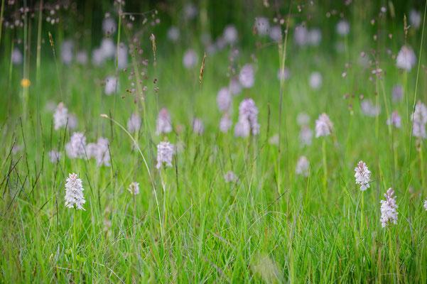 Dactylorhiza maculata Nordrhein-Westfalen