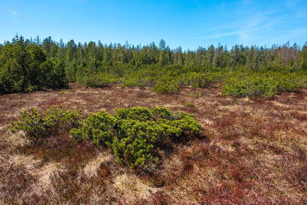 Vipera berus habitat Schwarzwald
