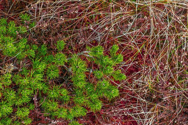 Pinus mugo Bayern