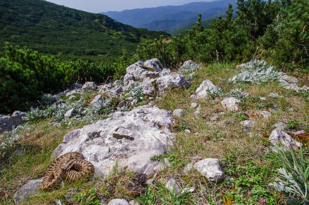 Vipera berus berus Italian clade Julian Alps Slovenia