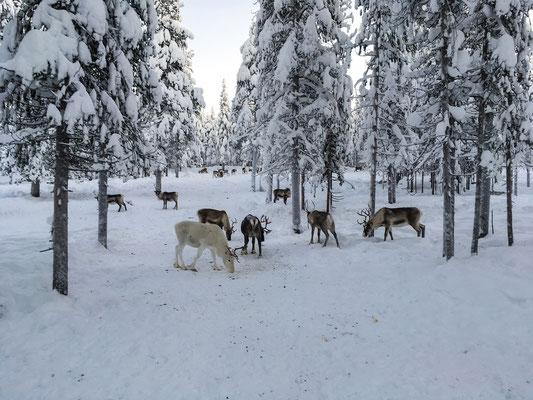 Tief im Wald treffe ich die wilden Rentiere an der Futterstelle...