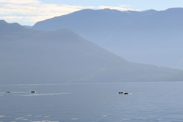 Unterwegs begleiten uns immer wieder Schweinswale :-)