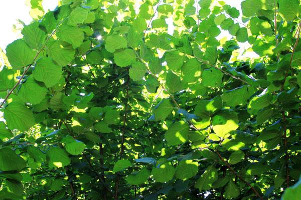 Haselnussbaum